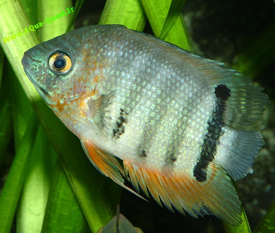 http://aquaquest.ir/Files/Picture/Fish/Keep/Cichlidae/Severum/Keep/Heros/aquaquest_severum-breeding.jpg